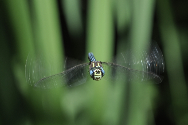 Paddle-tailed Dragonfly In Flight