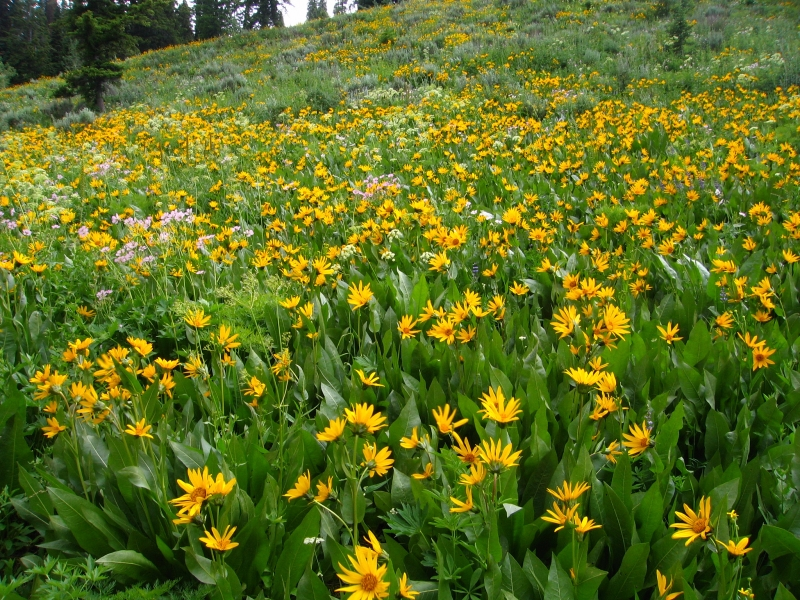 Field Of Balsam Root