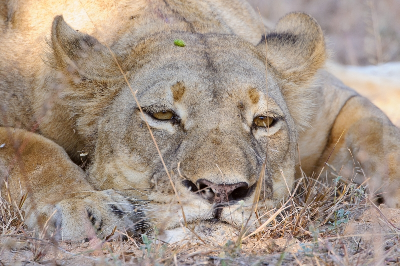 Young Lioness At Rest