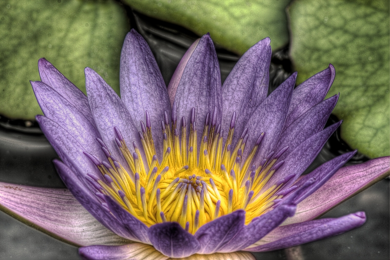 Water Lily In Hdr