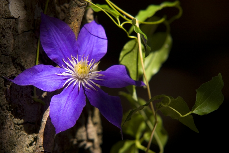 Clematis In The Woods