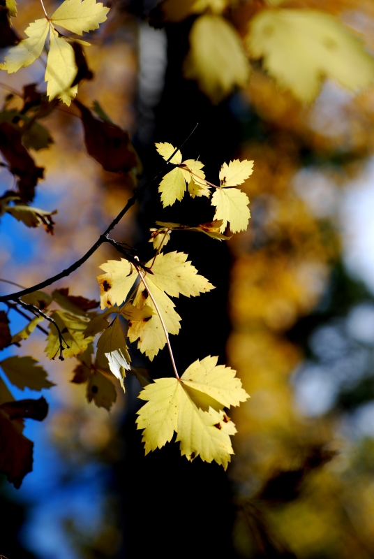 Pale Maple Leaves