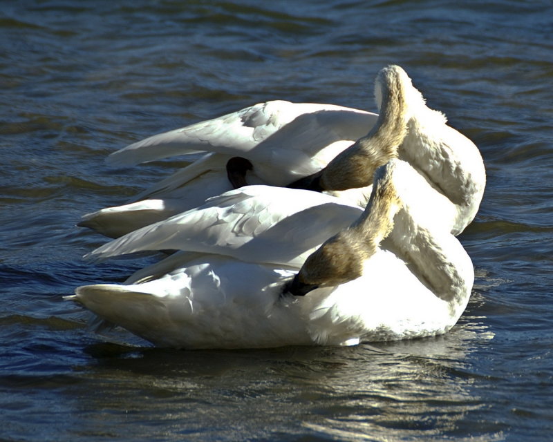 Trumpeter Swans Synchronized Swimming