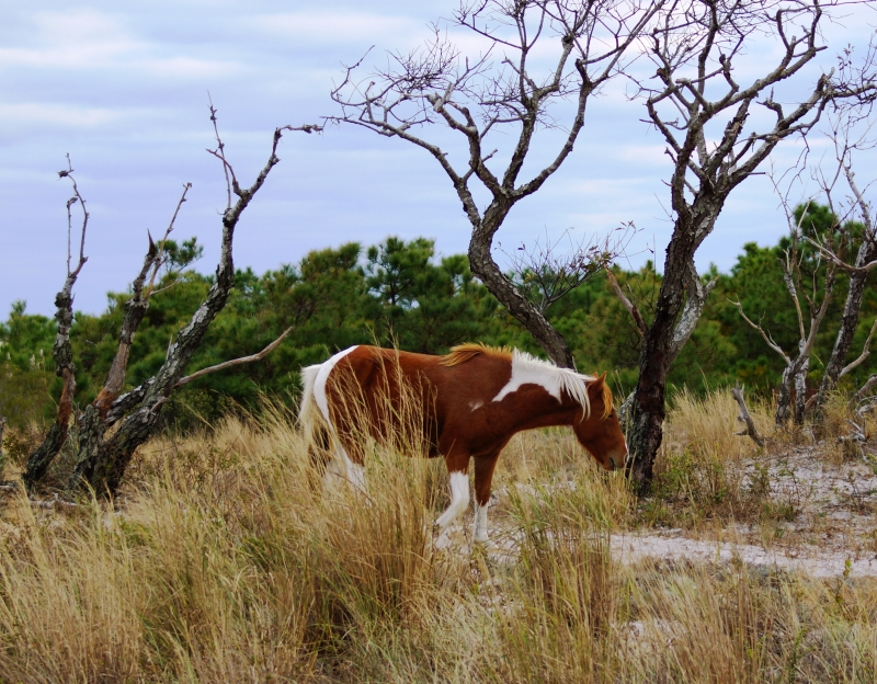 Wild Pony, Assateague Island