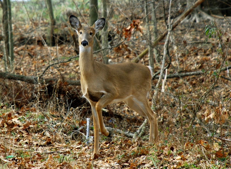 Alert Whitetail Doe