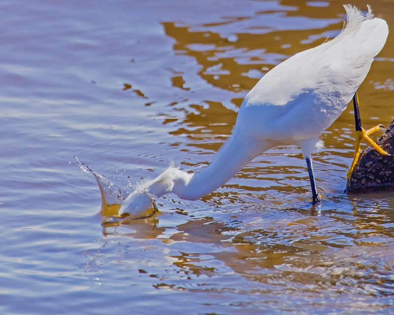 Snowy Egret Strikes