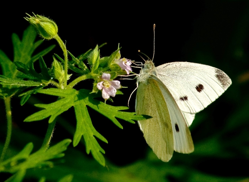Female Cabbage White Butterfly Nectaring