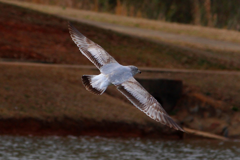 Gull At West Point Dam
