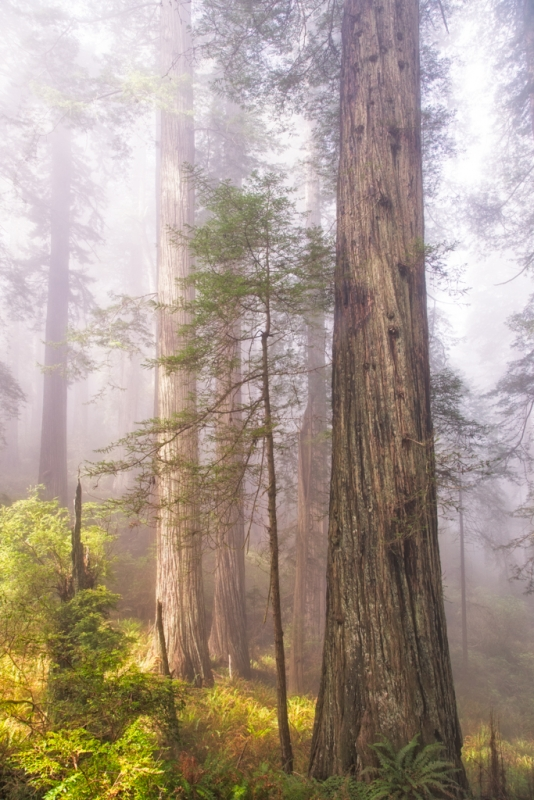 Fog And Tall Trees