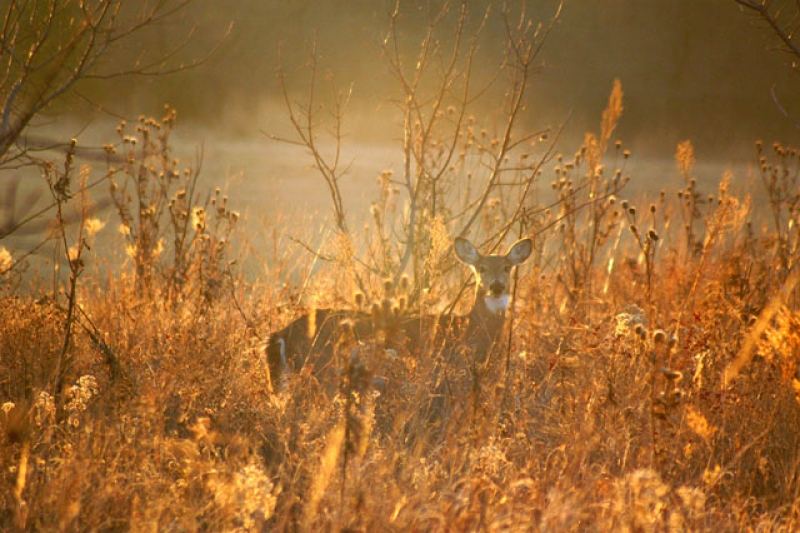 Deer In Morning Light