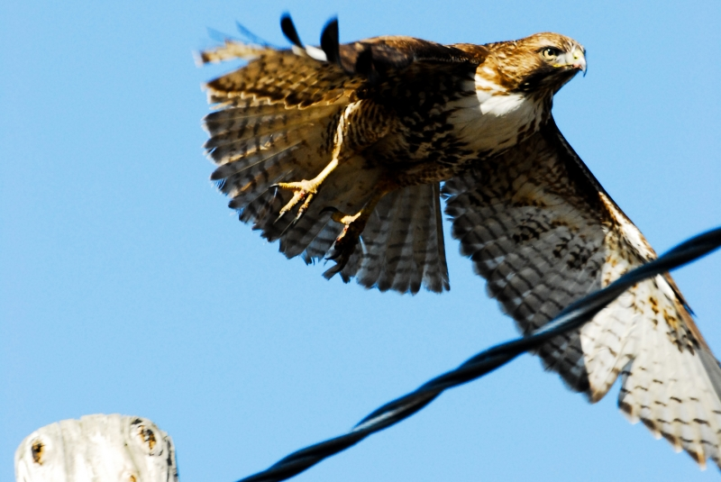 Red-tail In Flight