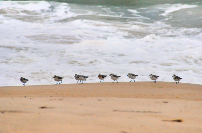 Marching Piping Plovers