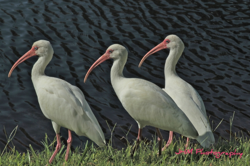 Three White Ibis