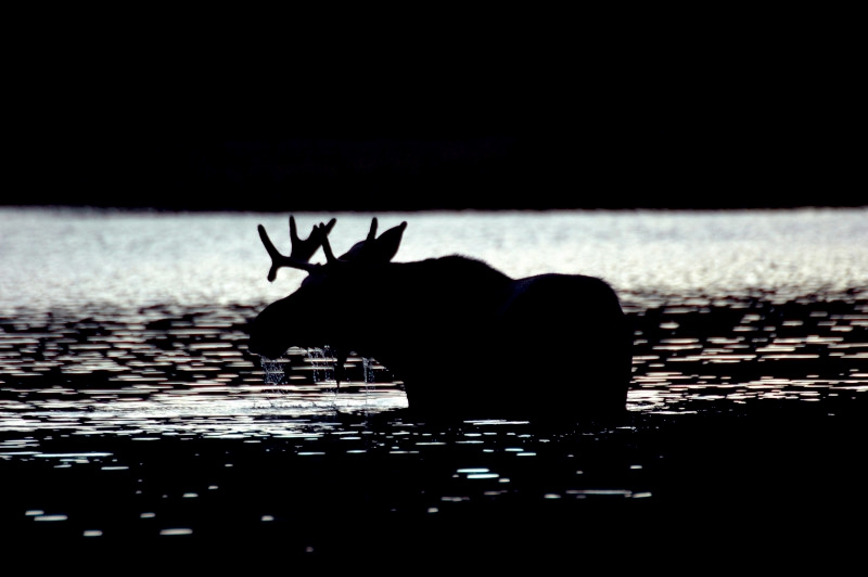 Bull Moose In Fall
