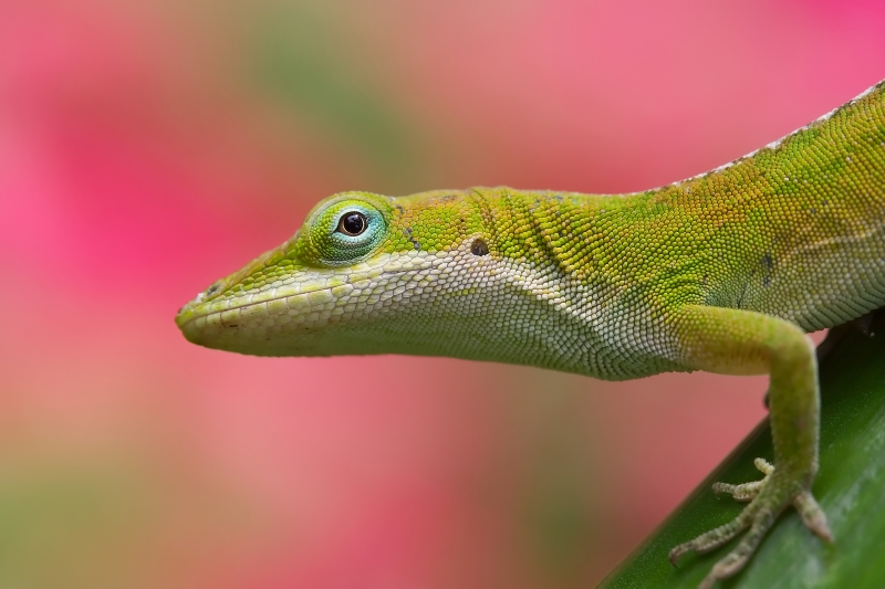 Anole Lizard With Pink Begonias As The Background.