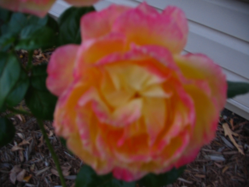 Last Rose Of Autumn