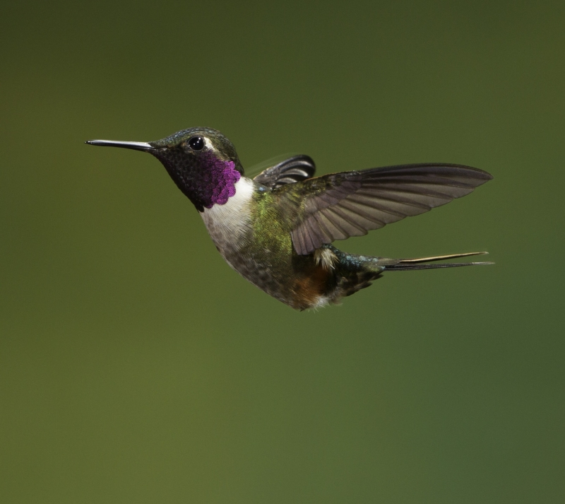 Magenta Throated Woodstar Hummingbird