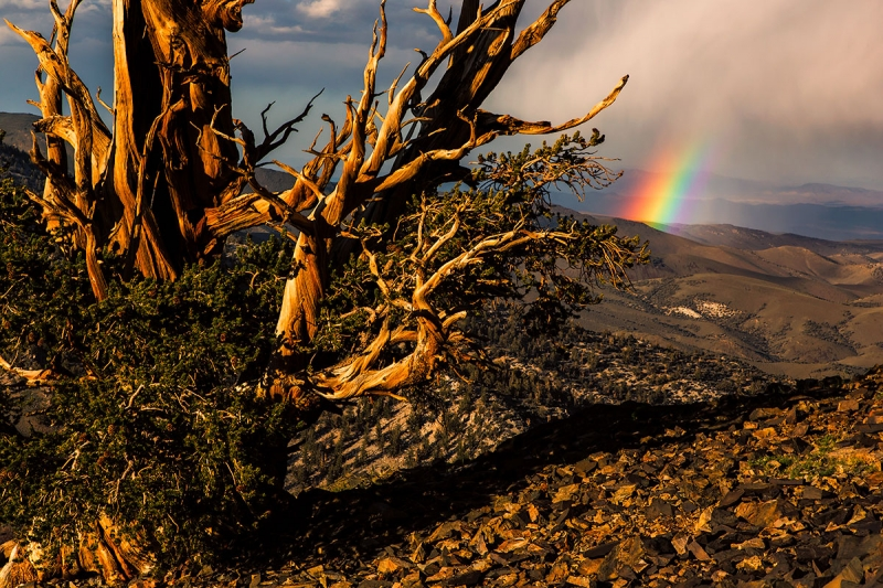 Bristlecone Pine And Rainbow