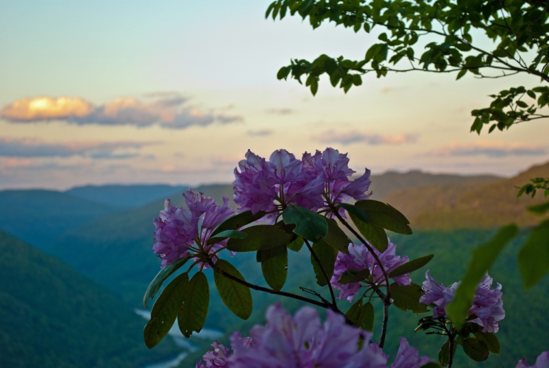 Gorge Rhododendron