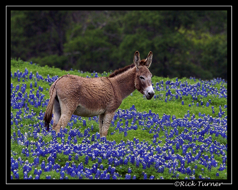 Bluebonnets And The Donkey