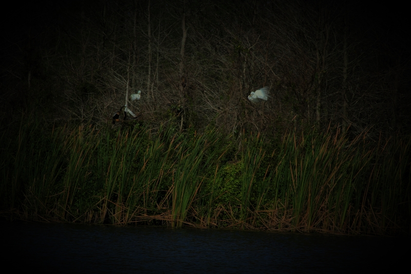 The Great Egrets