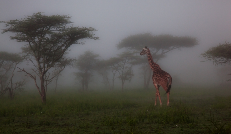 Giraffe Early Stroll