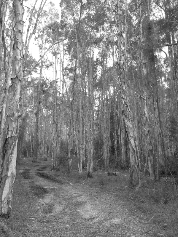 Dirt Path Through The Florida Woods In Black And White3