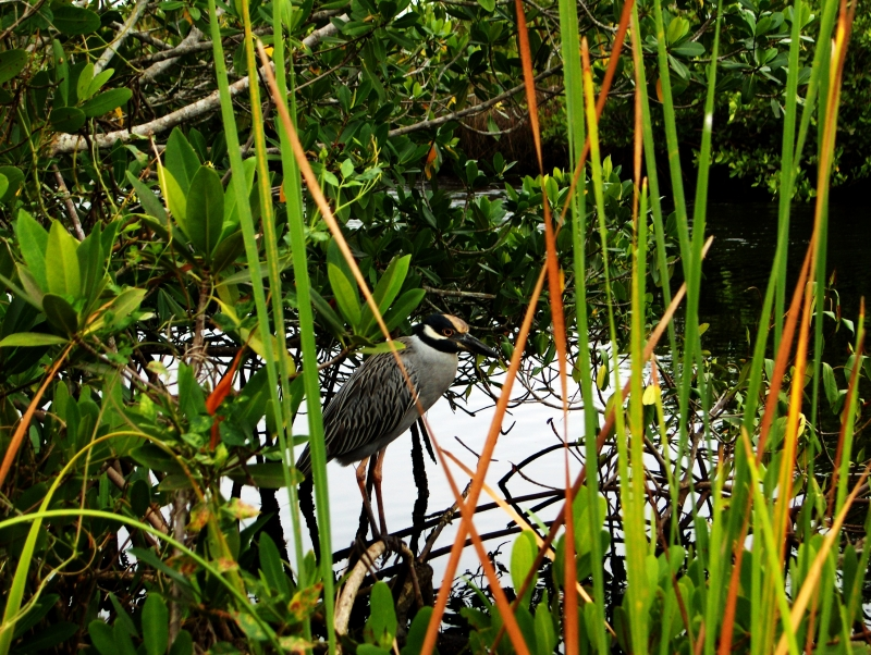 Night Heron