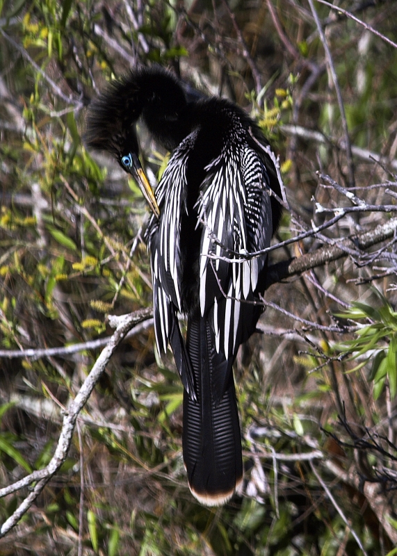 Male Anhinga In Breeding Plumage (turquoise Ring Around Eye), Shark Valley, Everglades