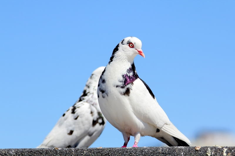 Beautiful Pigeon