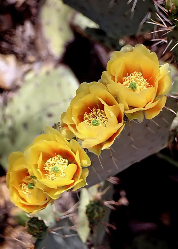 Four Yellow Cactus Flowers