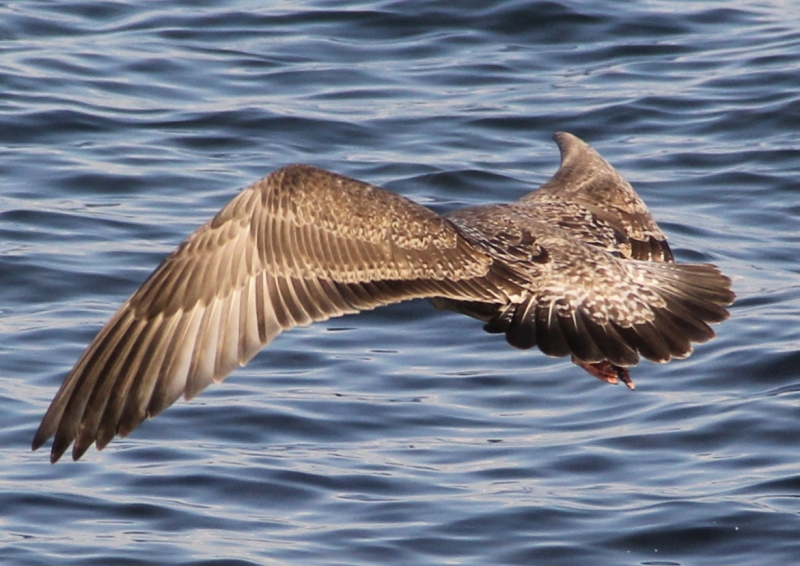 Lake Superior Seagull…