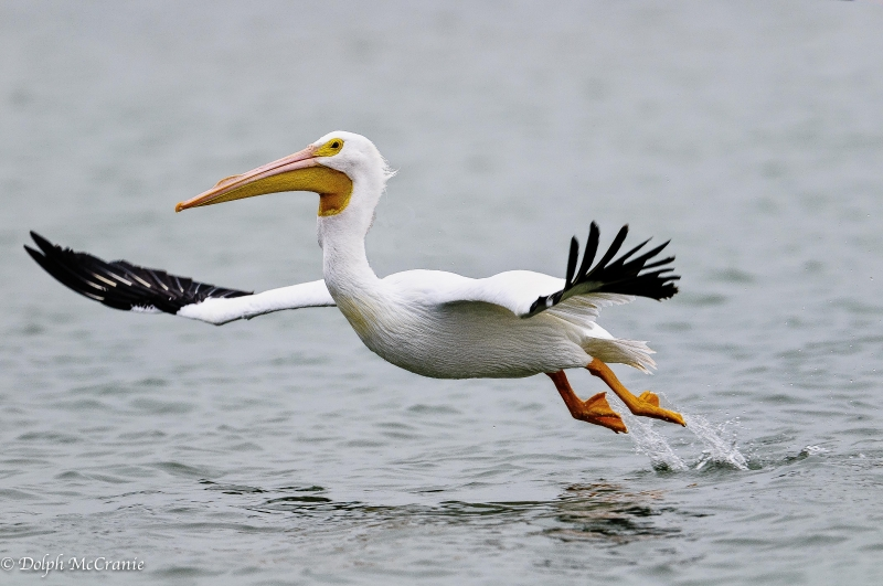 White Pelican Take-off