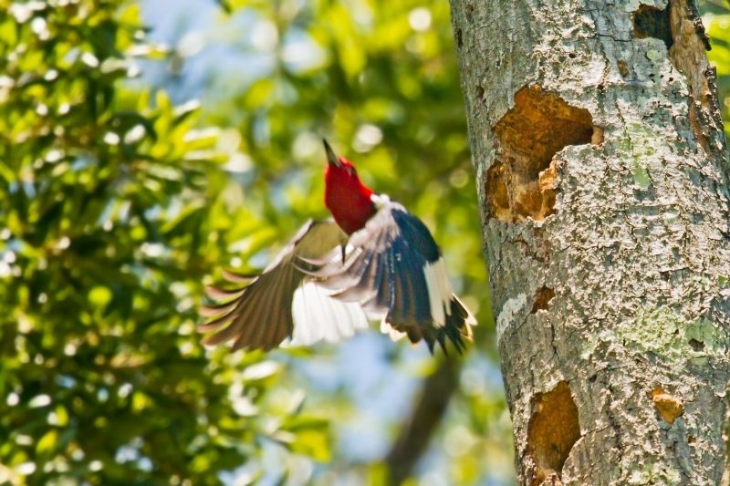 Redheaded Woodpecker Takes Flight