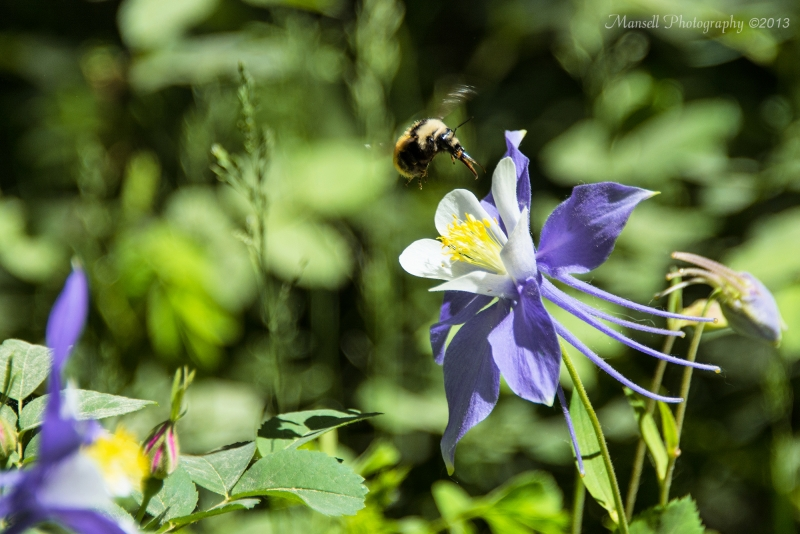 Bumble Bee Feeding In Columbine Flower