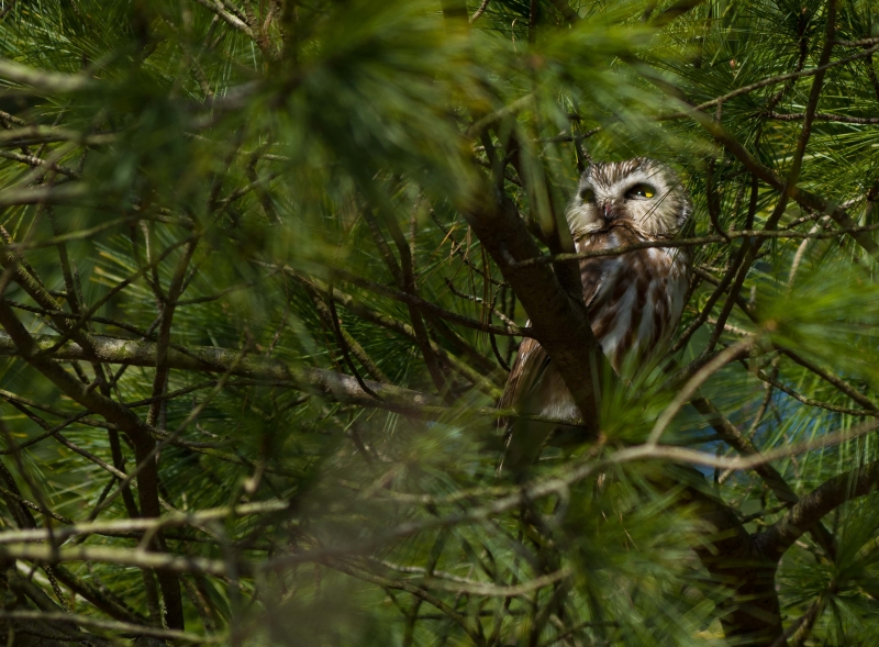 Northern Saw Whet Owl In The Pines