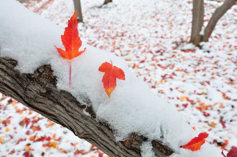 Maples On Snow