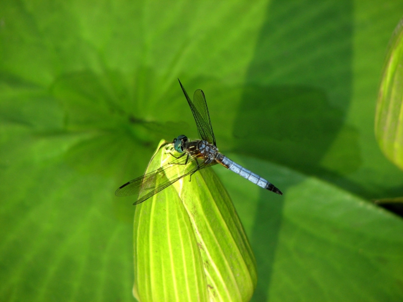Water Lily Dragon Fly
