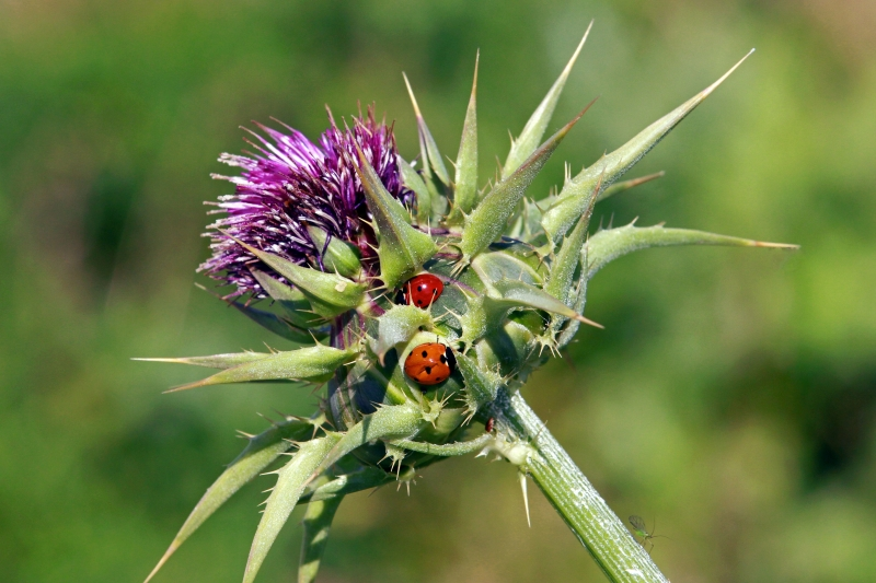 Lady Bugs On Purple Thistle