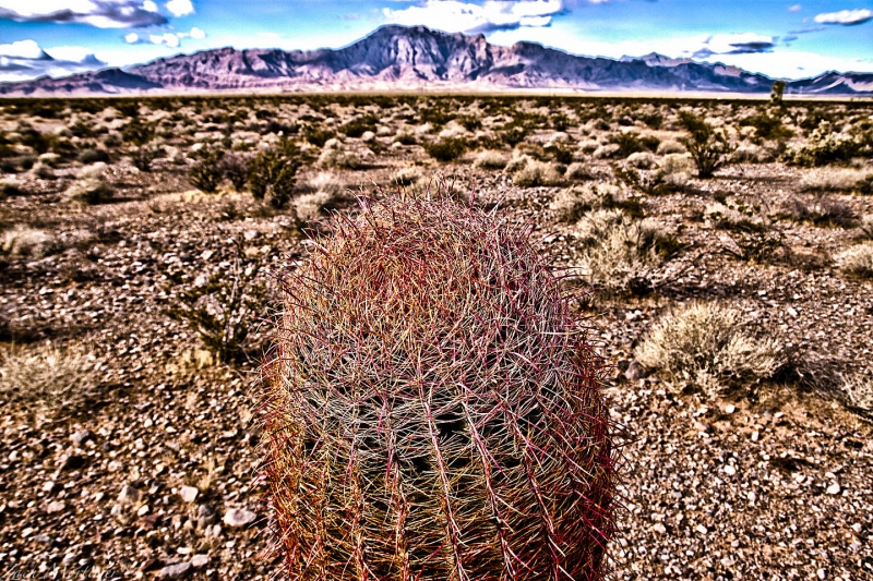 Barrel Cactus With A View