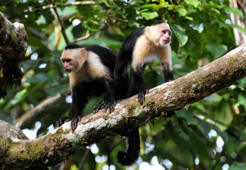 Capuchin Monkey Bookends