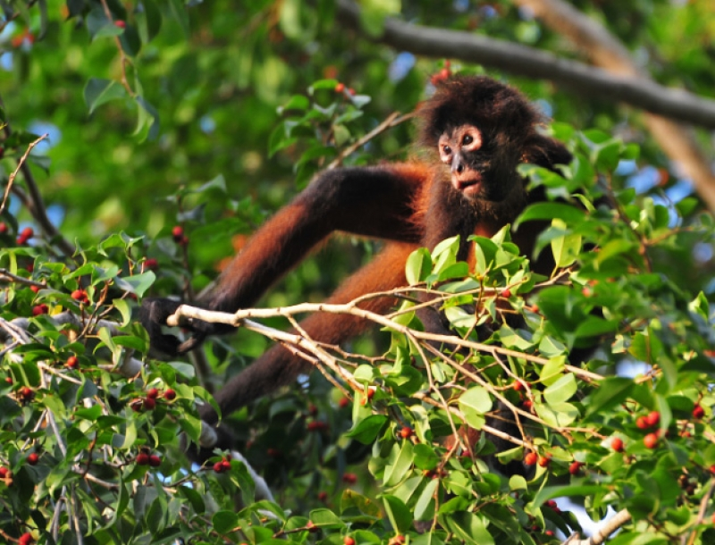 Foraging Spider Monkey