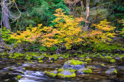 Vine Maple, Clackamas River, Or