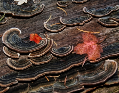 Autumn Leaves On Fungus