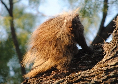 Hill Country Porcupine