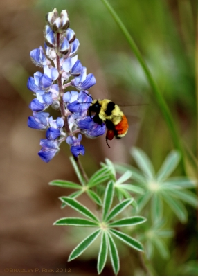 Lupine And Bumble Bee