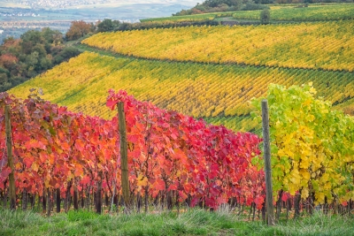 Autumn Vineyard Of Bingen