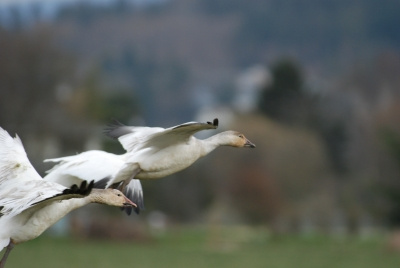 Snow Geese In Standwood # 2