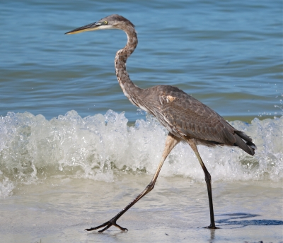 Great Blue Heron Stroll On The Gulf Of Mexico