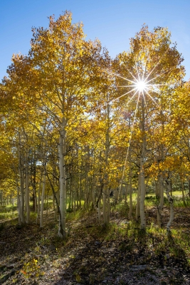 Grand Canyon Aspens 1